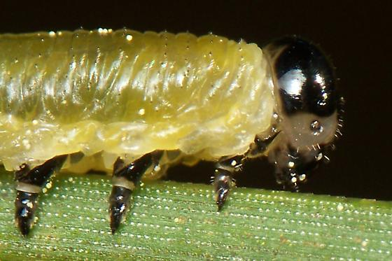 Sawfly Larva? - Neodiprion compar