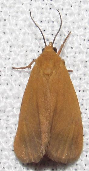 Virbia aurantiaca - Orange Virbia - Virbia aurantiaca