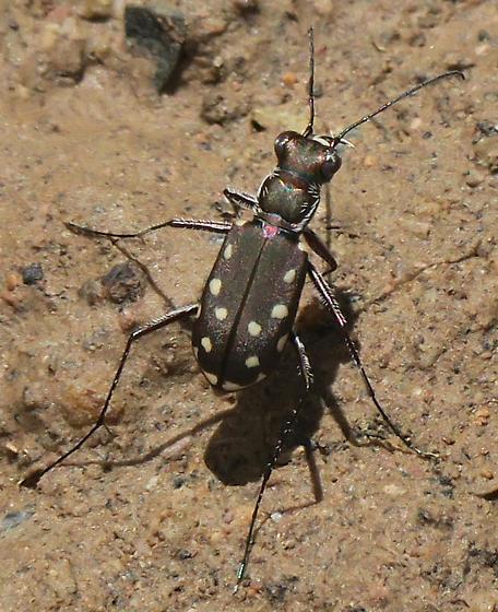 Western Red-bellied Tiger Beetle - Cicindelidia sedecimpunctata