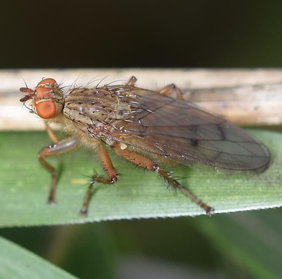 Fly - Scathophaga furcata