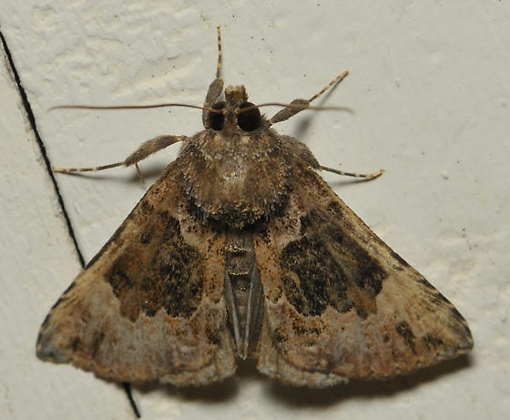 bomolocha moth