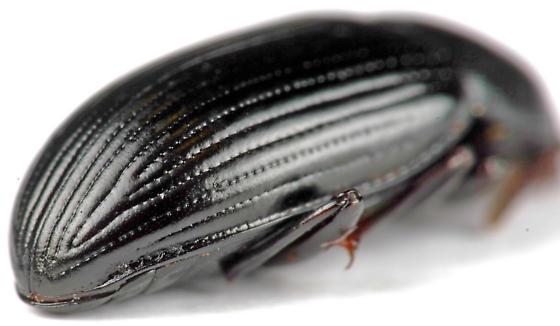 Beetle - Metaclisa atra