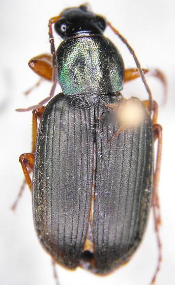 Carabid 4b - Chlaenius pennsylvanicus