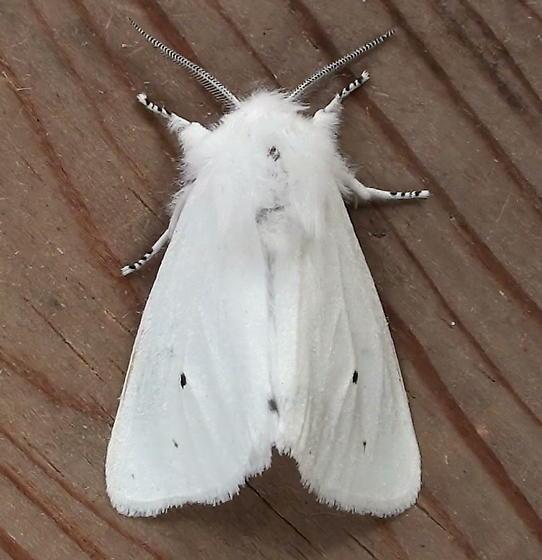 Erebidae: Spilosoma virginica - Spilosoma virginica
