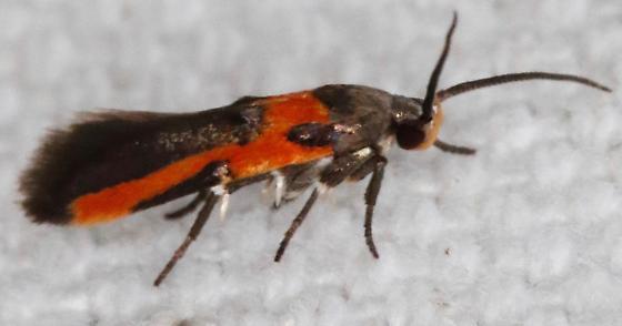 Euclemensia bassettella - Kermes Scale Moth - Euclemensia bassettella