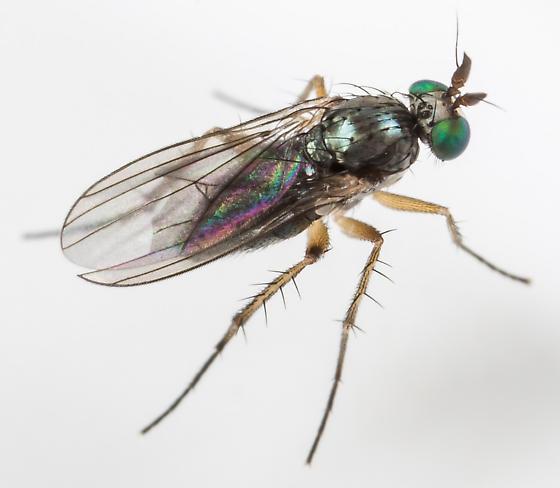 Fly - Gymnopternus exilis