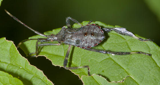 Another leaf footed bug nymph - Acanthocephala terminalis