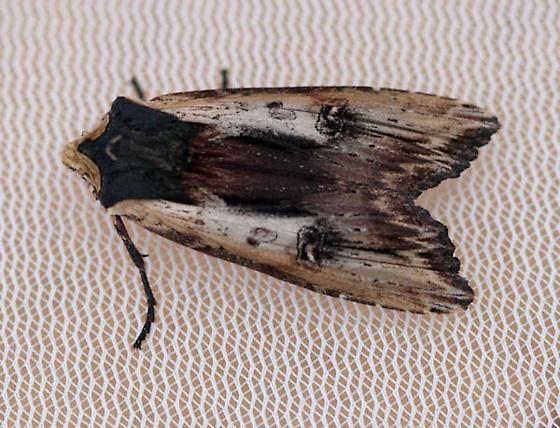 Adult Moth - Xylena nupera