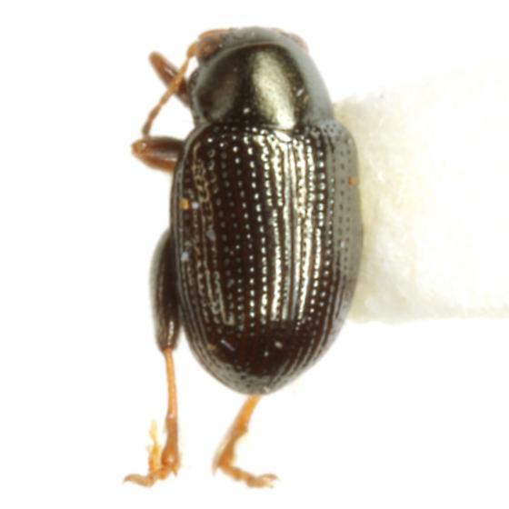 Chaetocnema ectypa Horn - Chaetocnema ectypa