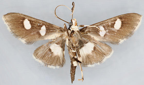 Moth, ventral - Desmia maculalis - male