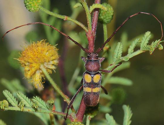 Aethecerinus latecinctus on Acacia - Aethecerinus latecinctus - male