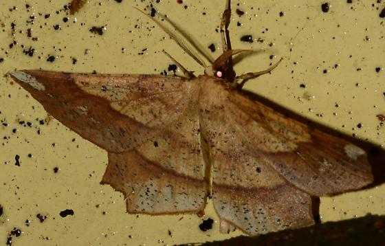 Brown and yellow angular Moth - Euchlaena amoenaria