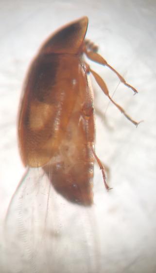 Staphylinidae?? - Clypastraea lunata