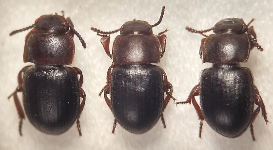 Notibius puncticollis