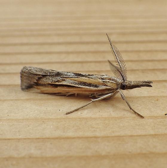 Crambidae: Thaumatopsis pexellus - Thaumatopsis pexellus