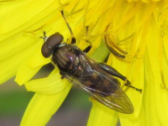 unknown syrphid - Chalcosyrphus nemorum