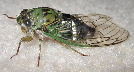 Neotibicen latifasciatus - male