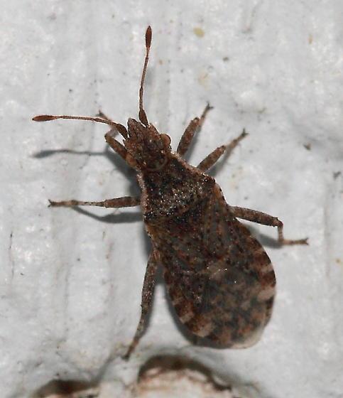 Bug - Aufeius impressicollis