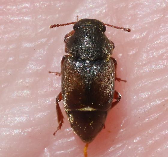 Nitidulidae - Amartus tinctus