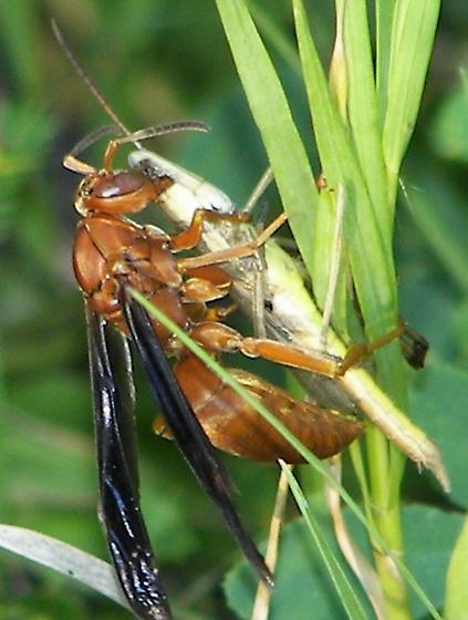 Red Wasp - Polistes carolinus - Polistes - female