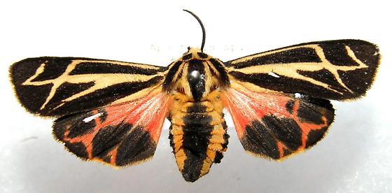 Apantesis sp. - Apantesis phalerata - female