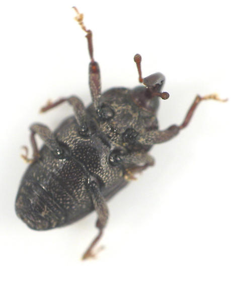 x-weevil - Glyptobaris lecontei