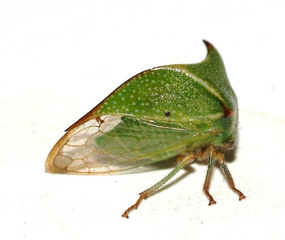 Larger Treehopper - Stictocephala possibly-undescribed