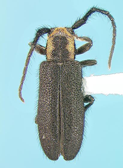 Cerambycid - Eupogonius subarmatus