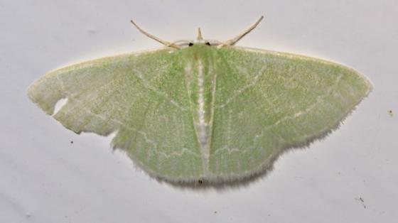 22aug2011-moth3 - Synchlora aerata