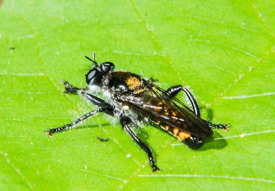 Fly - Laphria index