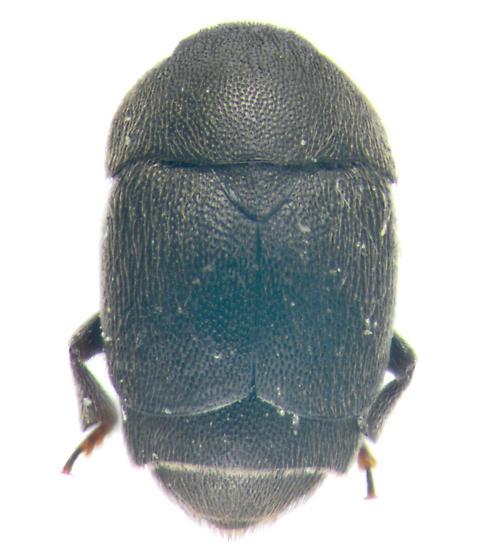 beetle, dorsal - Brachypterolus pulicarius