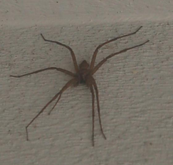 Lake Crabtree spider unknown Dolomedes maybe 2018 1