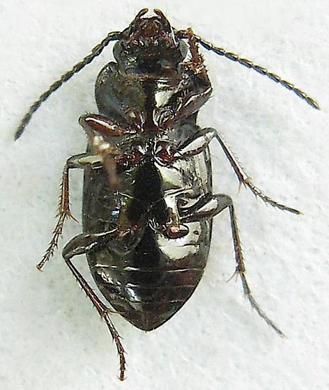 False Ground Beetle - Trachypachus inermis