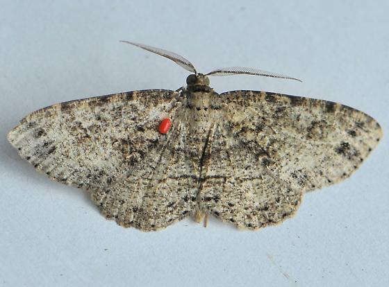 Geometrid Moth - Melanolophia canadaria