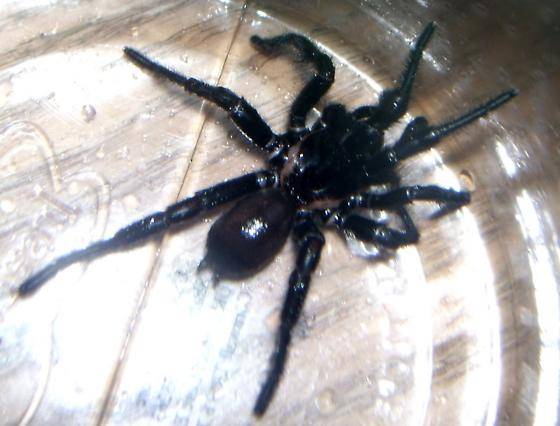 Texas Spider, Black, Hairy, Large. - Eucteniza relata
