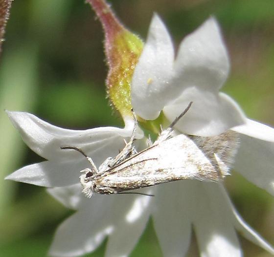 micro-moth