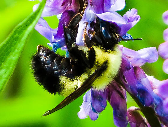 common eastern bumble bee - Bombus vagans