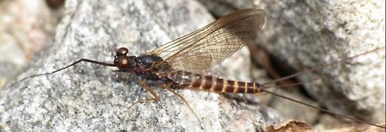 Mayfly 2 - Leptophlebia