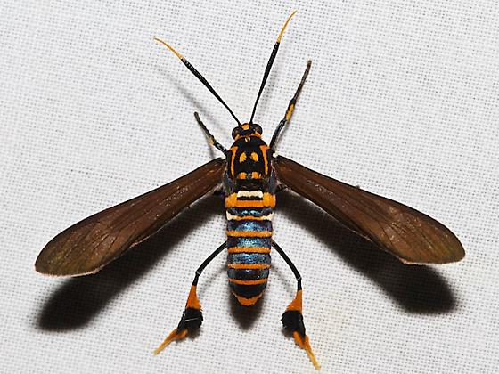 8287 – Texas Wasp Moth - Horama panthalon