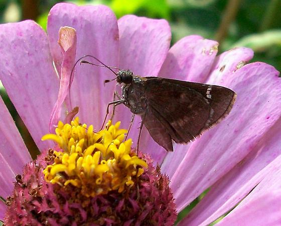 Small Blackish Skipper??? - Lerema accius