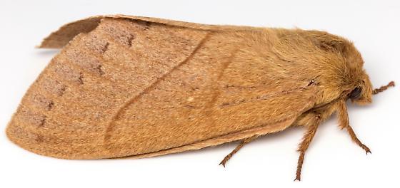 Female, Dicogaster coronada? - Dicogaster coronada - female