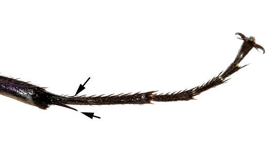 Tarantula Hawk - Pepsis menechma - female