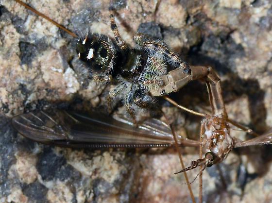 Spider phidippus audax - Phidippus audax
