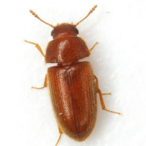 Typhaea stercorea (Linnaeus)  - Typhaea stercorea
