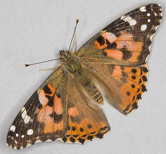 Vanessa cardui - Painted Lady butterfly - Vanessa cardui