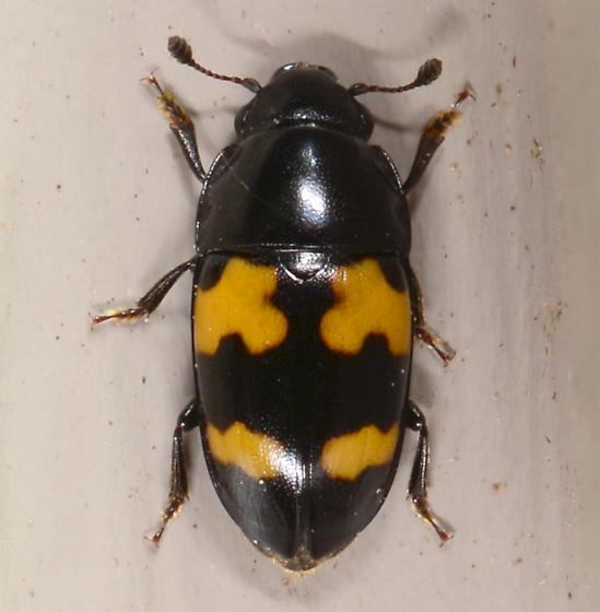 Glischrochilus fasciatus ? - Glischrochilus fasciatus