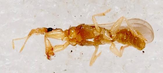 Gnat Bug - Systelloderes - Systelloderes