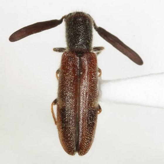Monophylla pallipes (Schaeffer) - Monophylla pallipes - male