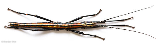 Anisomorpha buprestoides - male