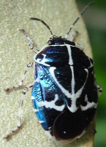 Murgantia violascens
